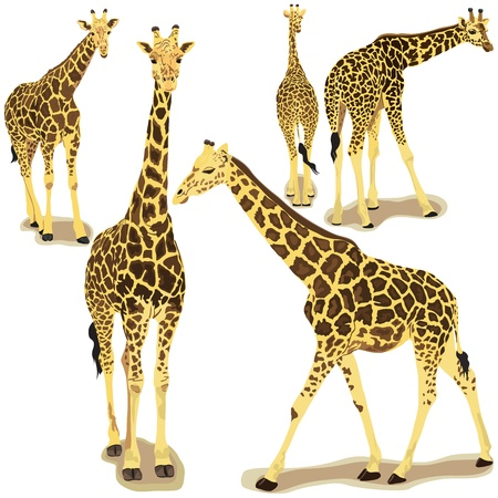 Vector illustration of giraffe animal