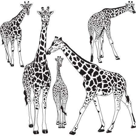 Векторные иллюстрации жирафа животных