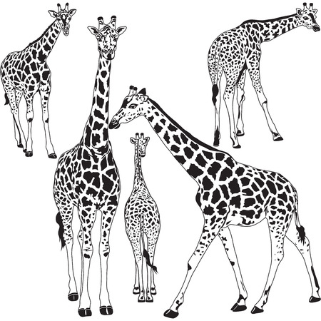 Vector illustration of giraffe animal