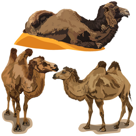 camel silhouette: Detailed vector illustration of a camels