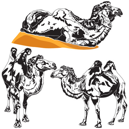 camels: Detailed vector illustration of a camels