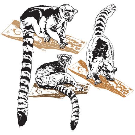 Подробные векторные иллюстрации лемуров