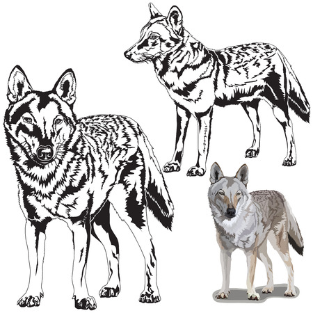 wild animal: Detailed vector illustration of a wolfs