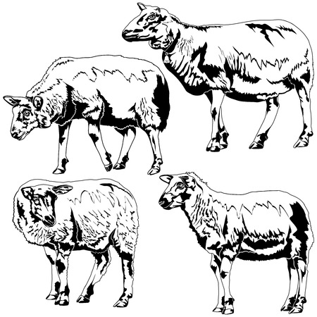 sheeps: Vector sheeps in different poses on white and back