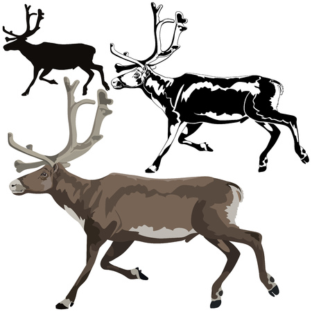 Detailed vector illustration of a reindeer on white