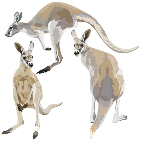 Set of kangaroos on  white Illustration