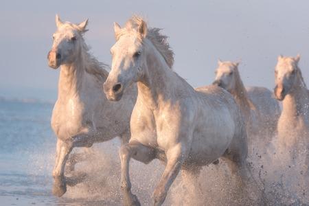 Weiße Pferde laufen im Galopp im Wasser bei Sonnenuntergang, Camargue, Bouches-du-Rhône, Frankreich