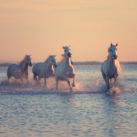 White horses run gallop in water at sunset, Camargue, Bouches-du-rhone, France