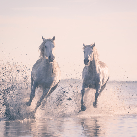 White horses run gallop in water at sunset, Camargue, Bouches-du-rhone, France Stock Photo