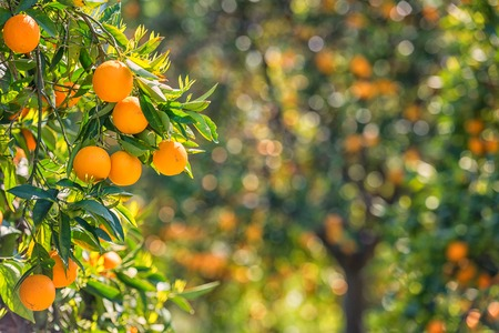 Orange garden with rape orange fruits Stock Photo