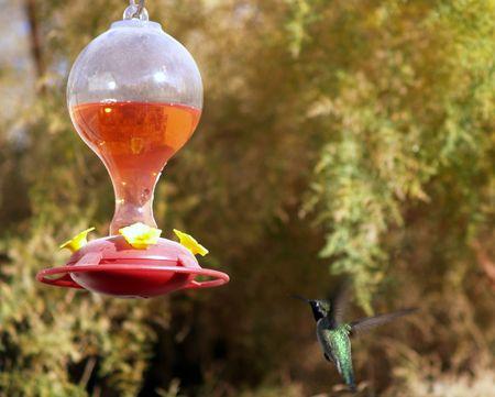Hummingbird seeking food