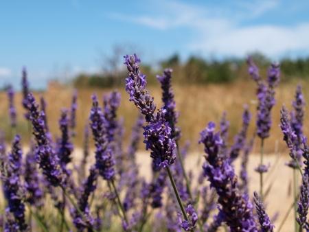 lavander: Lavander flowers Stock Photo