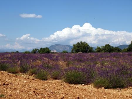 lavander: Lavander field in Provence