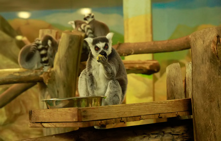 blackandwhite: Ring-tailed lemur eating fruit Stock Photo
