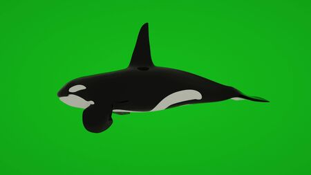 Killer Whale swimming isolated on green screen, 3d rendering 写真素材