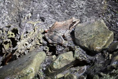 The frog on the stones. The frog almost blends into the background of wet stones.