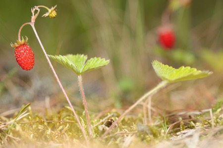 fragaria: Berry of wild strawberry in the forest on bush. Fragaria