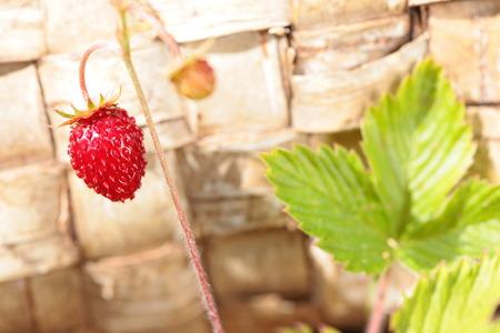 birchen: Buskground of one strawberry on the birch bark background