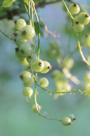 ribes: Green currants on the bush. Ribes spicatum