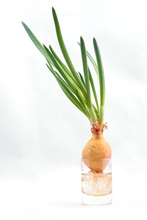 bulb and stem vegetables: Onions in a glass on white background close up