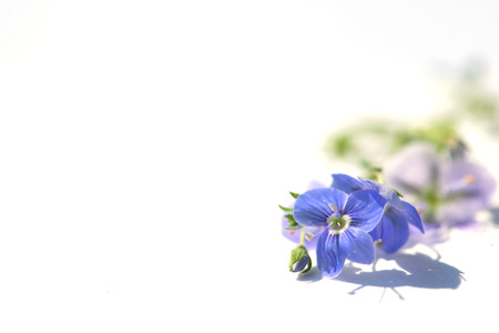 Blue flower on white background close up