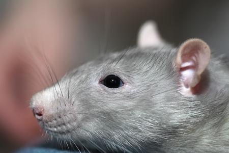ratty: Portrait of home rat face close up