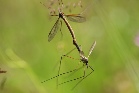 sunspot: Two mosquito copulating in the grass closeup Stock Photo