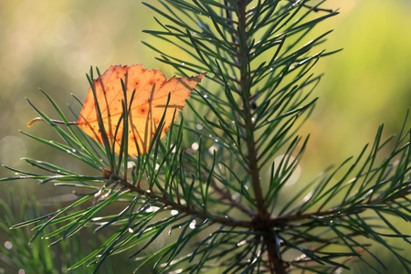 Yellow birch leaf on the branch of pine closeup Stock Photo - 46056182