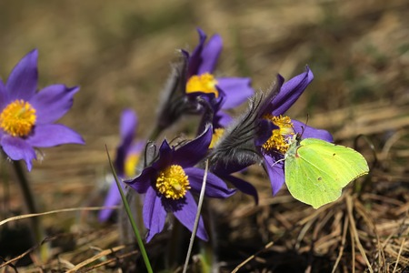 pulsatilla: Spring purple flowers Pulsatilla patens close up