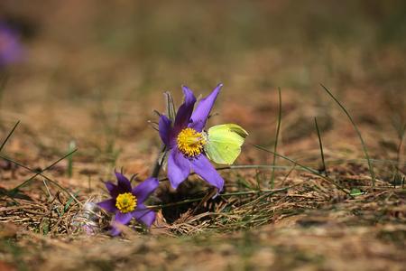 pulsatilla: Spring purple flower Pulsatilla patens close up