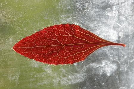 windowpane: Red leaf on a dirty windowpane in the sun close up