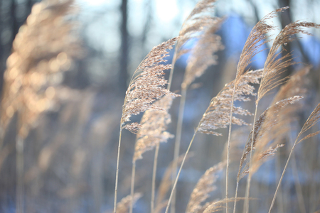 phragmites: Lot of coastal plant cane in the winter