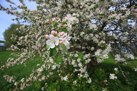 field of flower: Blooming Apple tree in field. Flower closeup