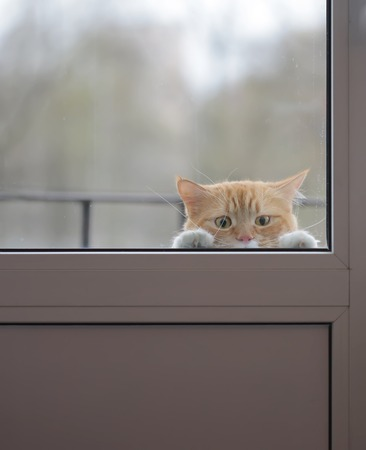 Red cat with a sad look outside the window wants to go home