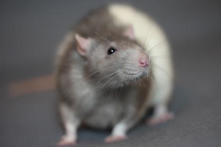 Portrait of home rat face close up