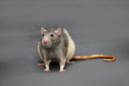 rata: Retrato de la cara de rata casa cerca