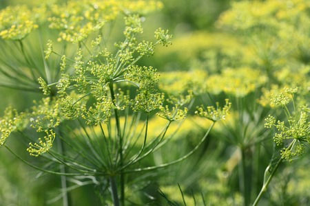thickets: Thickets of green garden dill close up Stock Photo