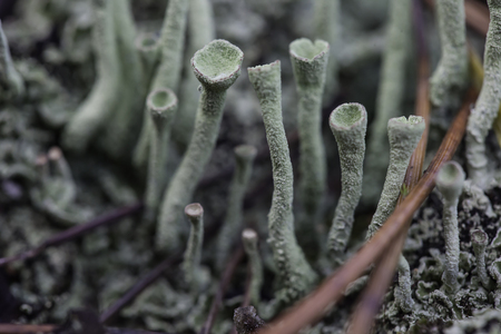 symbiosis: lichen moss white close up macro cladonia