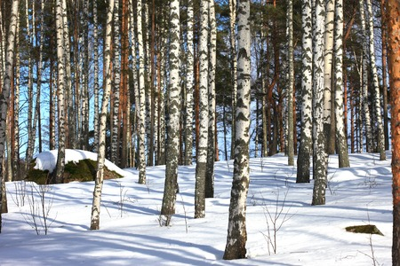weather: winter landscape with birches, stones and snow