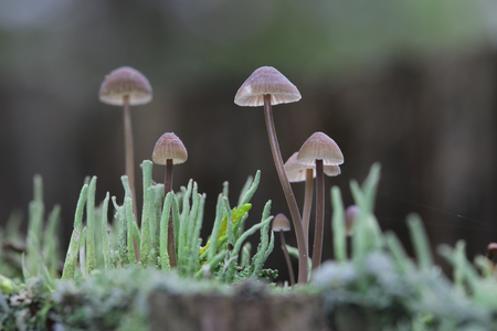 clustered: group of toadstools on the old rotten stump