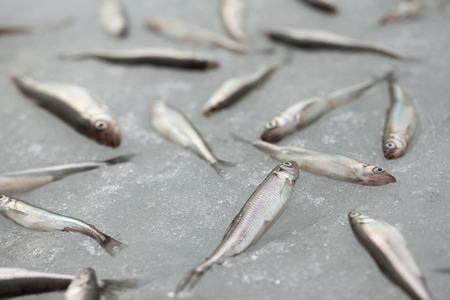pond smelt: group of fresh smelt fish on the snow