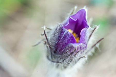 pulsatilla: spring flower plant sleep-grass, snowdrop Pulsatilla Patens closeup