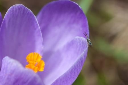 crabspider: small spider on a purple flower Crocus close up