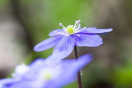 nobilis: spring flower pechenocna noble - Hepatica Nobilis  closup