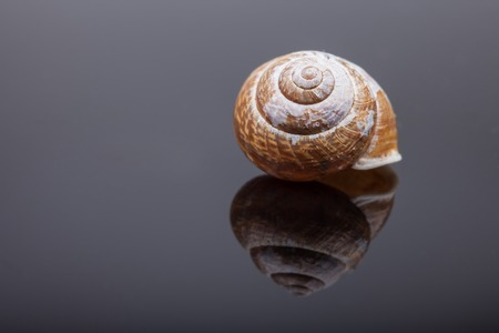 Hermaphrodite: spiral snail shell on black mirror surface abstract macro photo