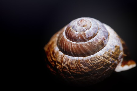 Hermaphrodite: brown spiral shell on black background macro closeup photo Stock Photo