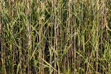 the reed thickets in forest lake close-up background