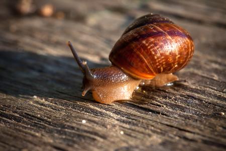 live spiral snail on an old wooden surface closeup
