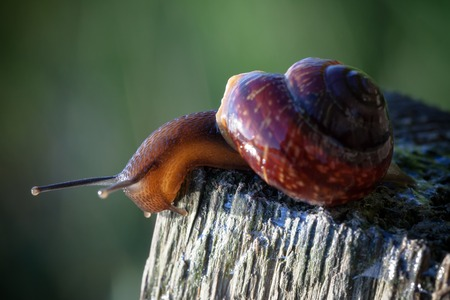 live spiral snail on a wooden surface looking down Imagens