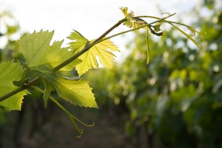 wijnbladeren: druivenmost wijn stok verlaat via troebel sky